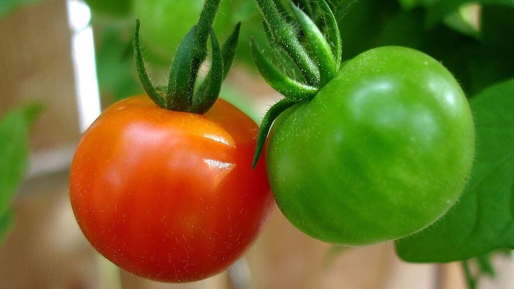red green tomatoes